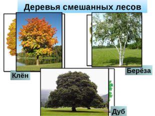 Деревья смешанных лесов Дуб Берёза Клён