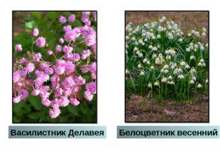 Белоцветник весенний Василистник Делавея