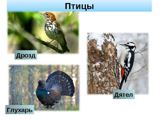 Птицы Дрозд Дятел Глухарь