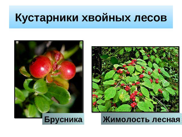 Кустарники хвойных лесов Брусника Жимолость лесная