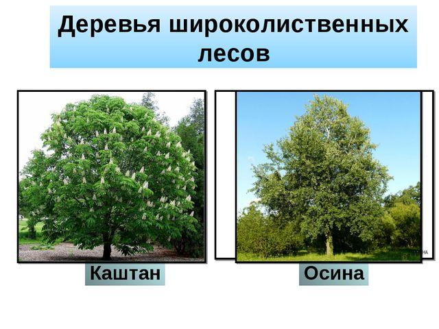 Деревья широколиственных лесов Каштан Осина