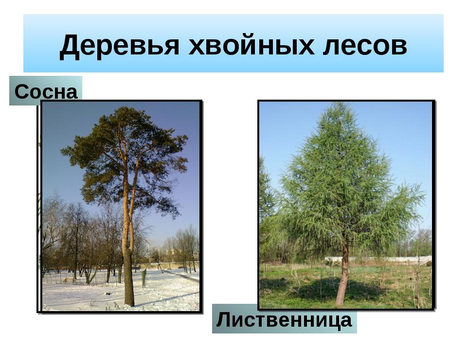 Деревья хвойных лесов Сосна Лиственница