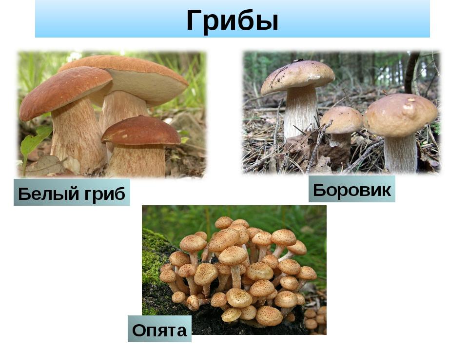 Грибы Боровик Белый гриб Опята