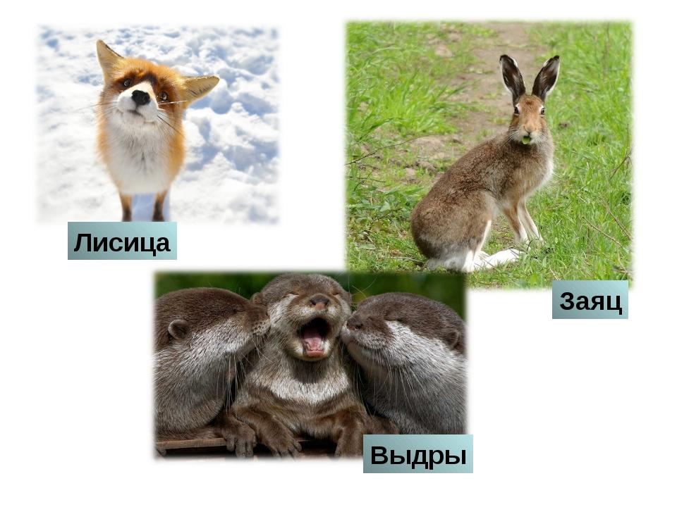 Лисица Заяц Выдры