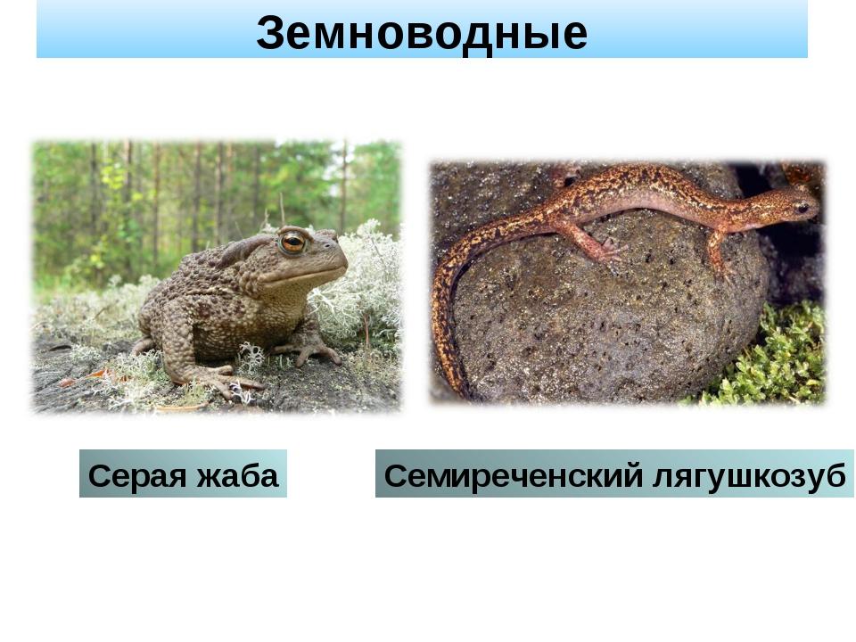 Земноводные Серая жаба Семиреченский лягушкозуб