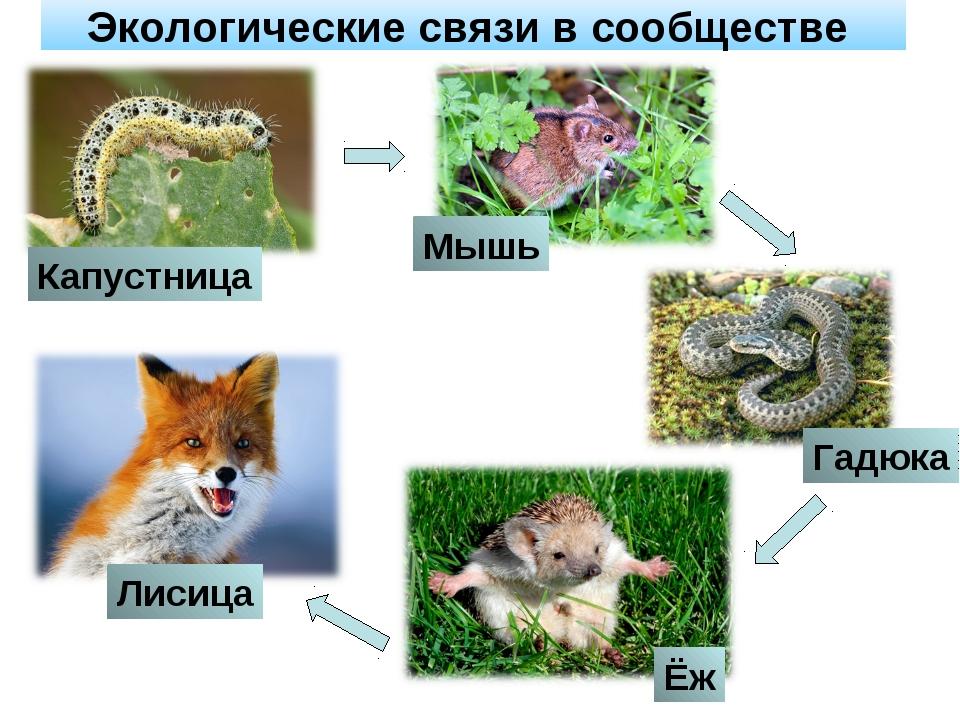 Экологические связи в сообществе Капустница Мышь Гадюка Ёж Лисица