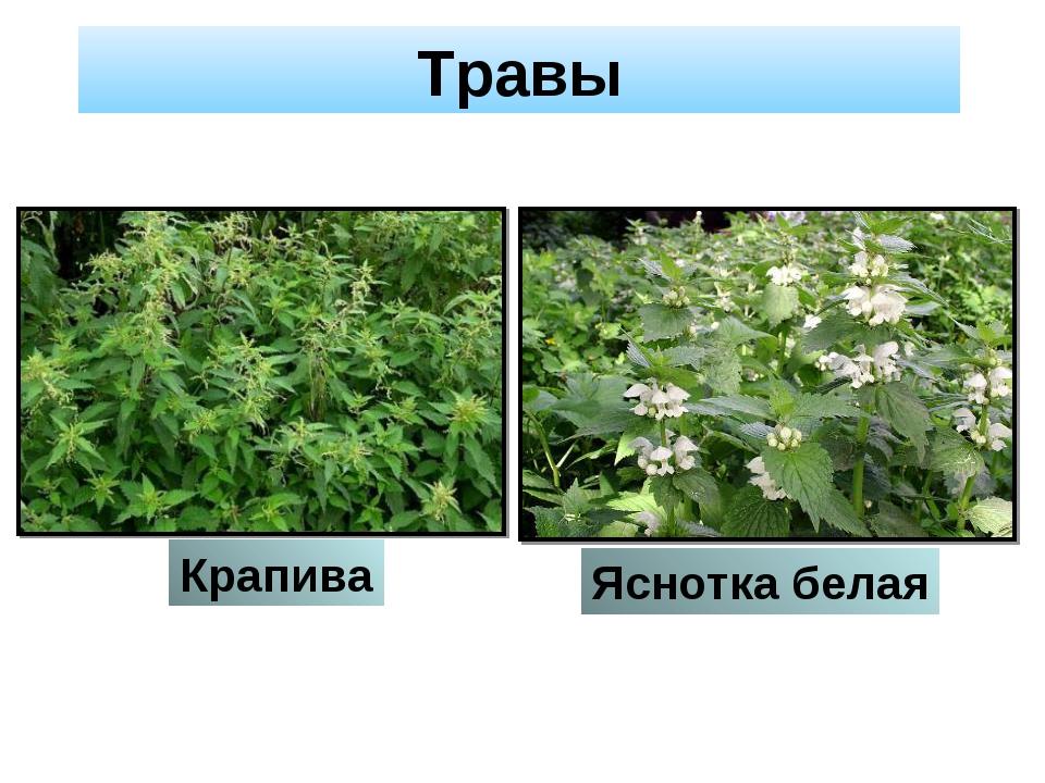 Травы Крапива Яснотка белая