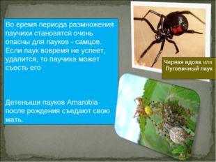 Во время периода размножения паучихи становятся очень опасны для пауков - сам
