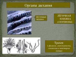 Органы дыхания ЛЁГОЧНАЯ КНИЖКА (СКОРПИОНЫ) ЛЁГОЧНЫЕ МЕШКИ Трахеи ( фаланги, л
