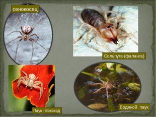 сенокосец Сольпуга (фаланга) Паук - бокоход Водяной паук
