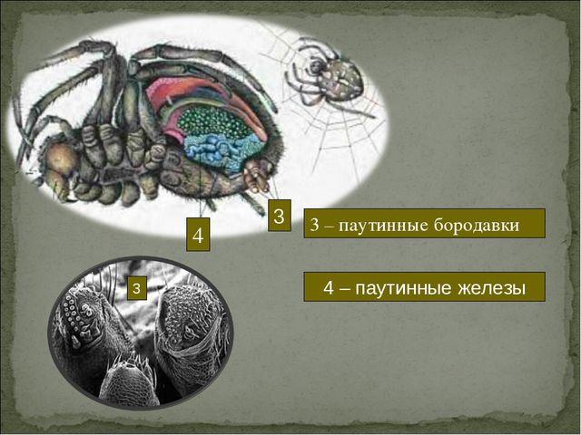 3 4 3 – паутинные бородавки 4 – паутинные железы 3