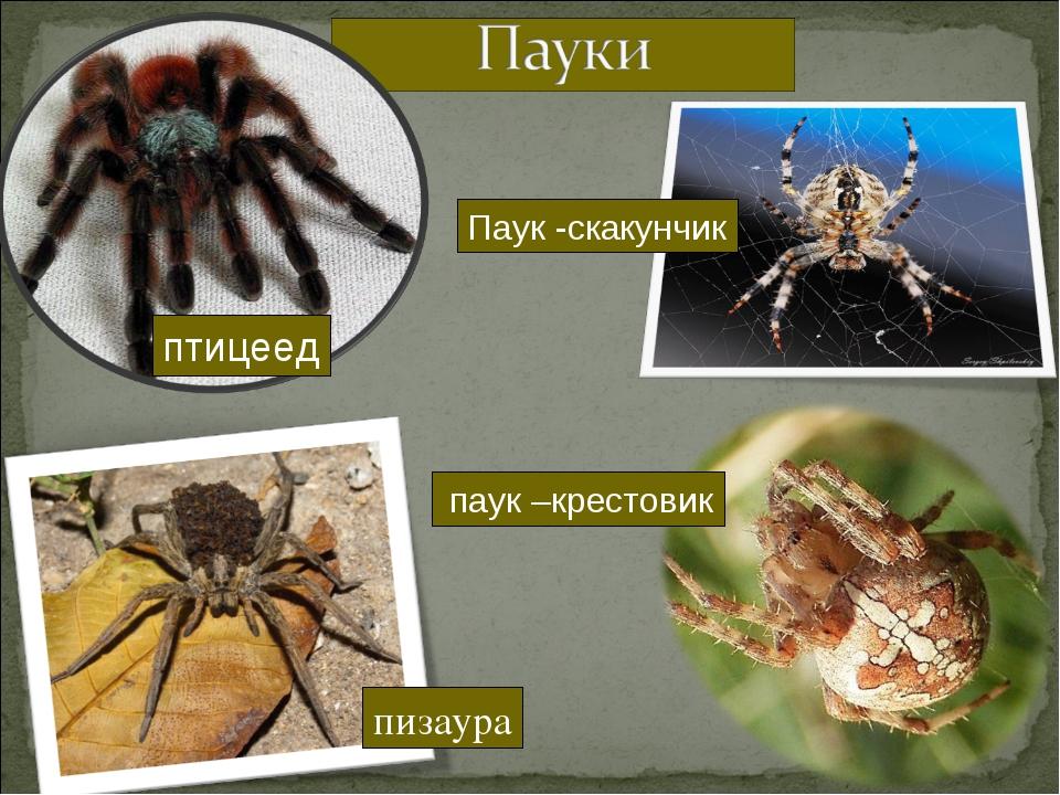 птицеед пизаура Паук -скакунчик паук –крестовик