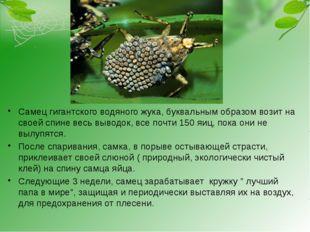 Самец гигантского водяного жука, буквальным образом возит на своей спине вес