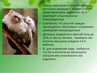 Самцы мартышек в Южной Америке, не только защищают, кормят и холят своих мале