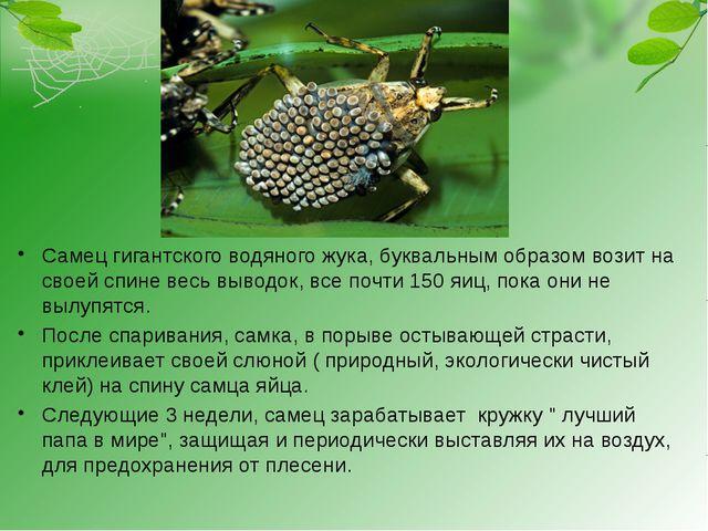 Самец гигантского водяного жука, буквальным образом возит на своей спине вес...