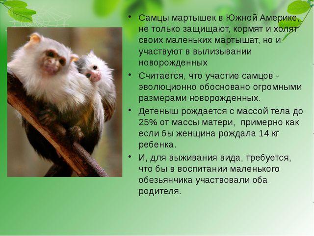 Самцы мартышек в Южной Америке, не только защищают, кормят и холят своих мале...