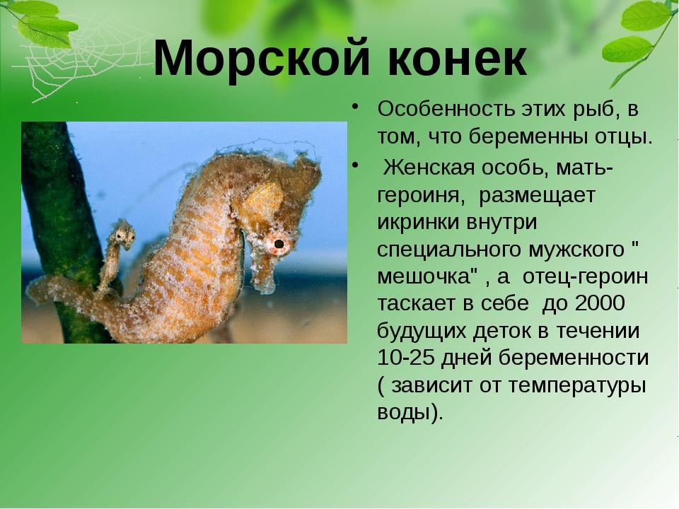 Морской конек Особенность этих рыб, в том, что беременны отцы. Женская особь,...