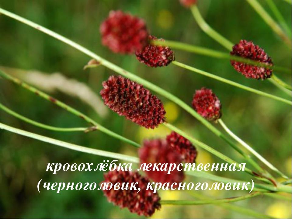 кровохлёбка лекарственная (черноголовик, красноголовик)