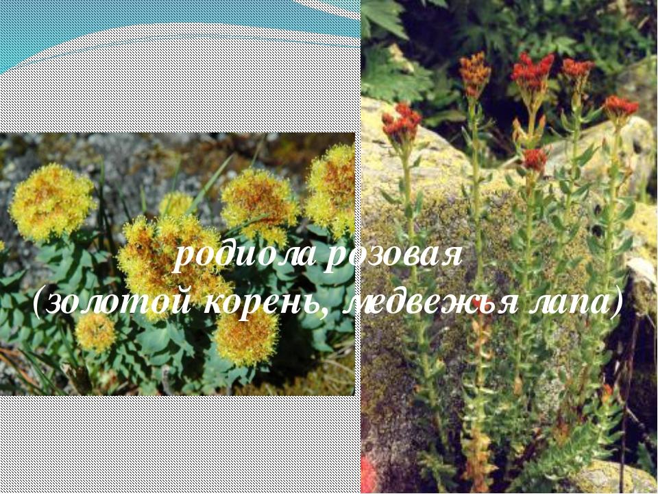 родиола розовая (золотой корень, медвежья лапа)