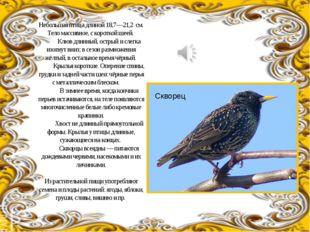 Небольшая птица длиной 18,7—21,2 см. Тело массивное, с короткой шеей. Клюв д