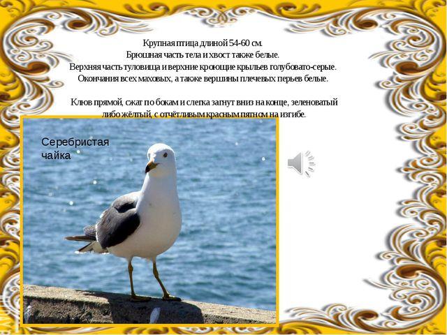 Крупная птица длиной 54-60см. Брюшная часть тела и хвост также белые. Верхня...