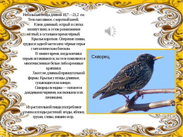 Небольшая птица длиной 18,7—21,2 см. Тело массивное, с короткой шеей. Клюв д...