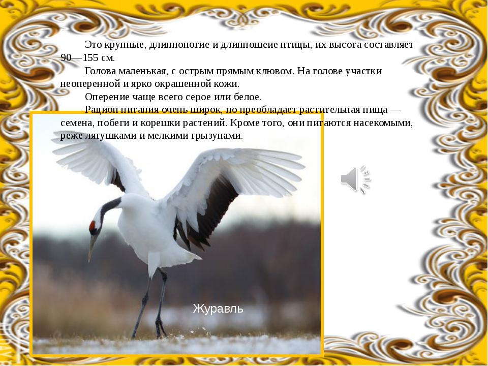 Это крупные, длинноногие и длинношеие птицы, их высота составляет 90—155 см....