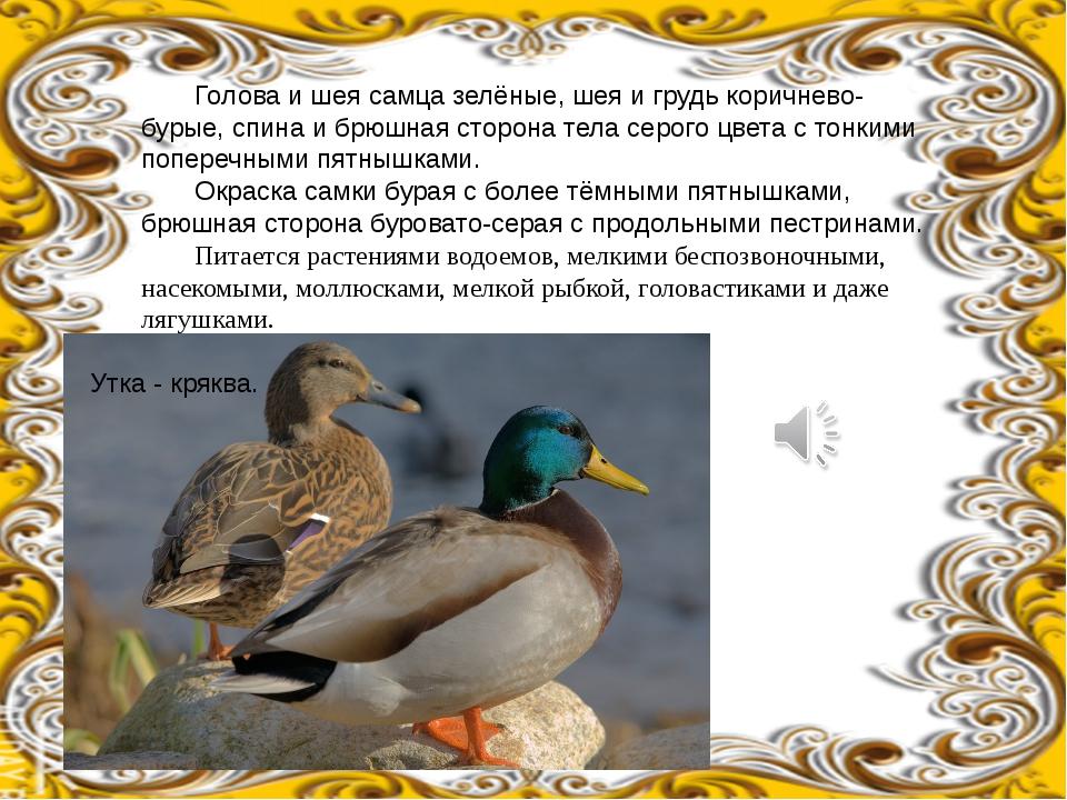 Голова и шея самца зелёные, шея и грудь коричнево-бурые, спина и брюшная сто...
