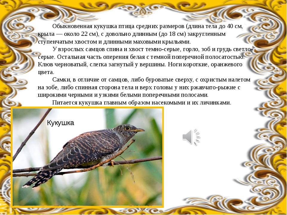 Обыкновенная кукушка птица средних размеров (длина тела до 40 см, крыла — ок...