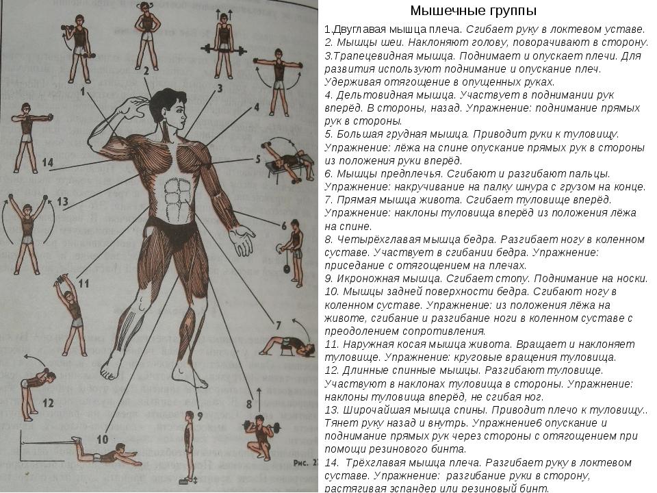 Мышечные группы 1.Двуглавая мышца плеча. Сгибает руку в локтевом уставе. 2. М...