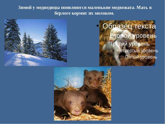 Зимой у медведицы появляются маленькие медвежата. Мать в берлоге кормит их мо...