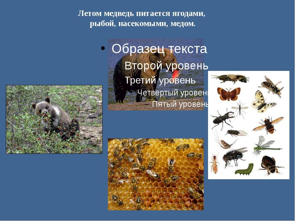 Летом медведь питается ягодами, рыбой, насекомыми, медом.