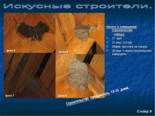 Начало и завершение строительства гнезда. 17 мая 21 мая / 5-6 см/ 28мая. лас