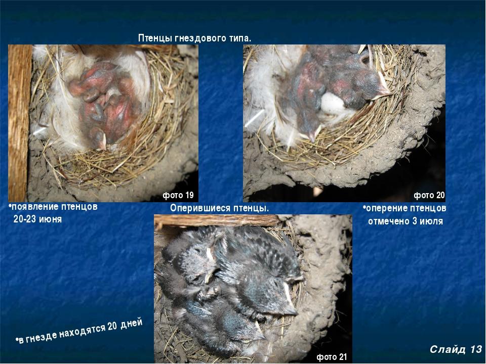 Птенцы гнездового типа. Оперившиеся птенцы. появление птенцов 20-23 июня опер...