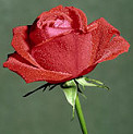 C:\Users\11\Pictures\rose.jpg