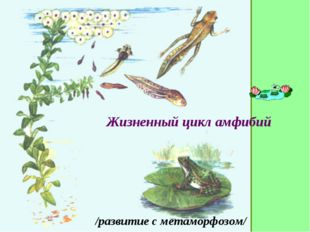 Жизненный цикл амфибий /развитие с метаморфозом/