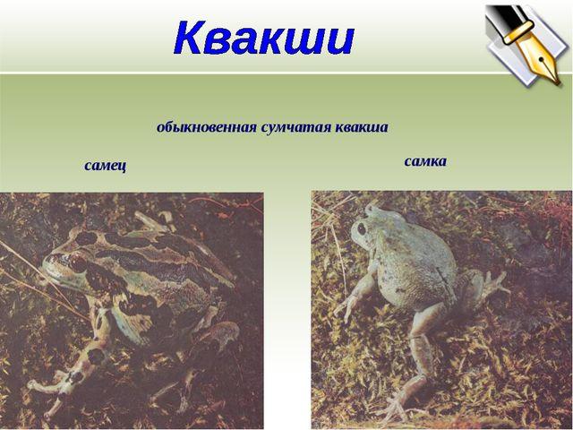 обыкновенная сумчатая квакша самец самка