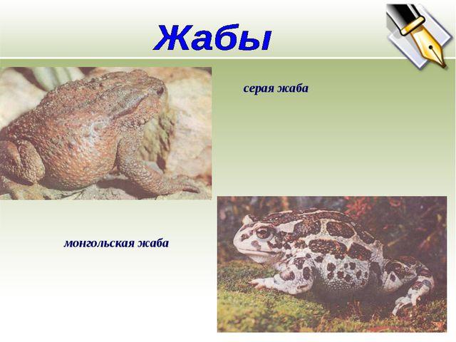 серая жаба монгольская жаба