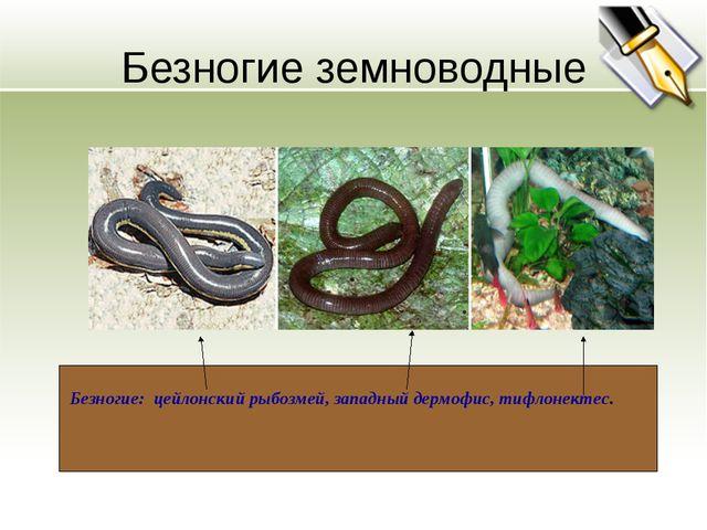 Безногие земноводные Безногие: цейлонский рыбозмей, западный дермофис, тифлон...