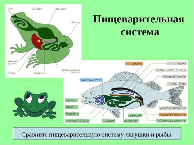 Пищеварительная система Сравните пищеварительную систему лягушки и рыбы.