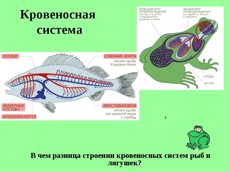 Кровеносная система В чем разница строении кровеносных систем рыб и лягушек?