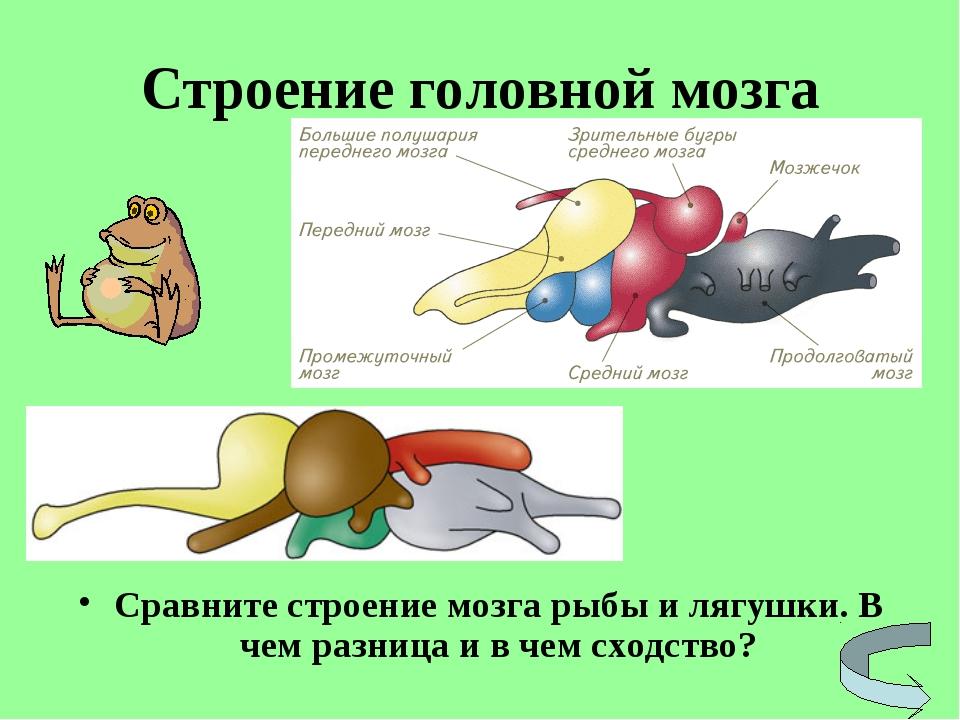 Строение головной мозга Сравните строение мозга рыбы и лягушки. В чем разница...