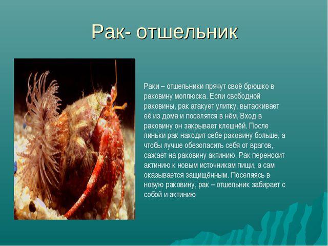 Рак- отшельник Раки – отшельники прячут своё брюшко в раковину моллюска. Если...