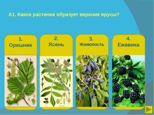 А1. Какое растение образует верхние ярусы? 1. Орешник 2. Ясень 3. Жимолость 4