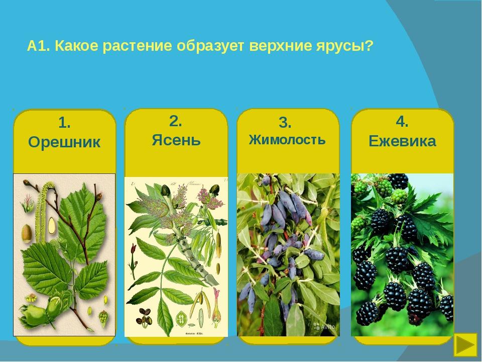 А1. Какое растение образует верхние ярусы? 1. Орешник 2. Ясень 3. Жимолость 4...