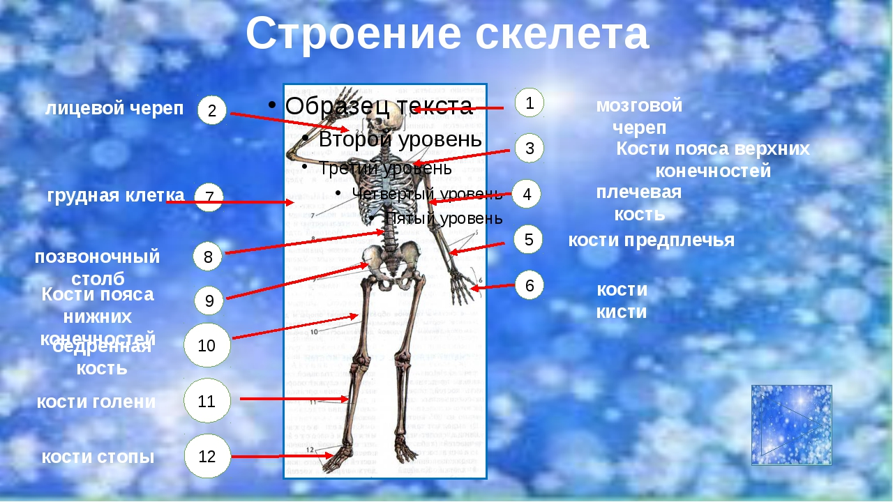 http://skeletos.zharko.ru/main/G121 http://biobib.ru/index.php/anatomiya/ana...