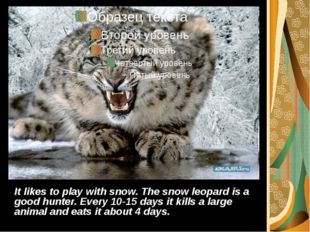 It likes to play with snow. The snow leopard is a good hunter. Every 10-15 da