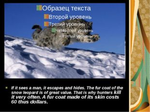 If it sees a man, it escapes and hides. The fur coat of the snow leopard is o