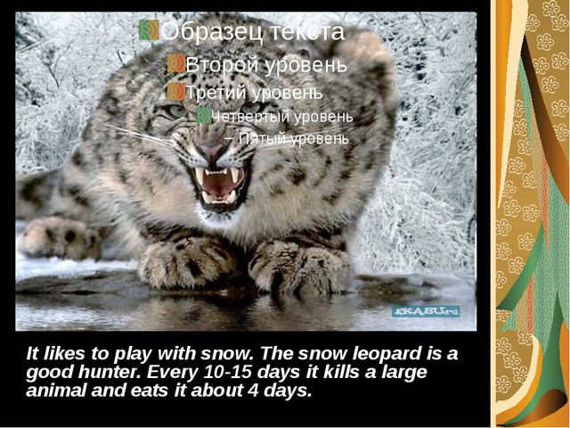It likes to play with snow. The snow leopard is a good hunter. Every 10-15 da...