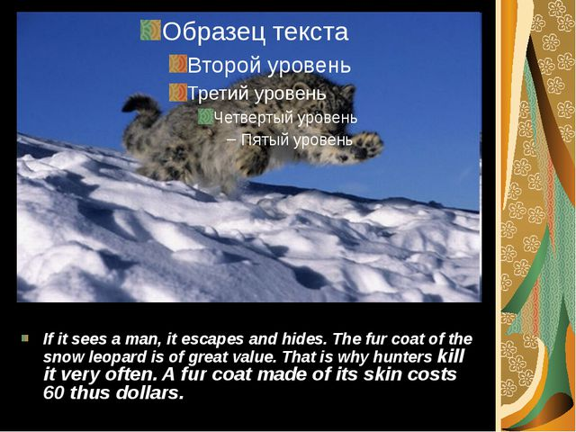 If it sees a man, it escapes and hides. The fur coat of the snow leopard is o...